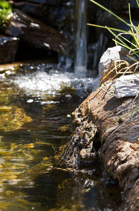 0057 western toad.jpg
