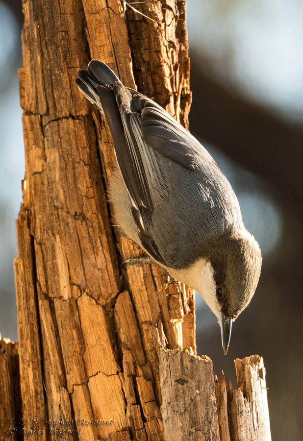 0496 white-breasted nuthatch.jpg