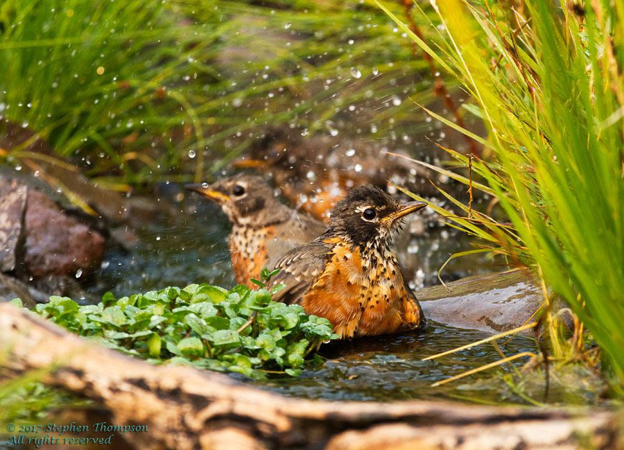 0612 young robins playing in the stream.jpg