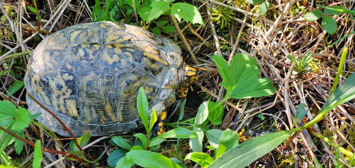 1 box turtle.jpg