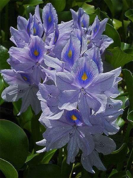 -15 water_hyacinth_gpf.jpg