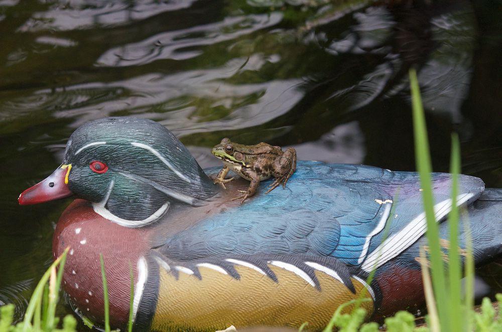 170621 - Kermit, Jenny + Jasper + Julia, frog on goose, log 62.jpg