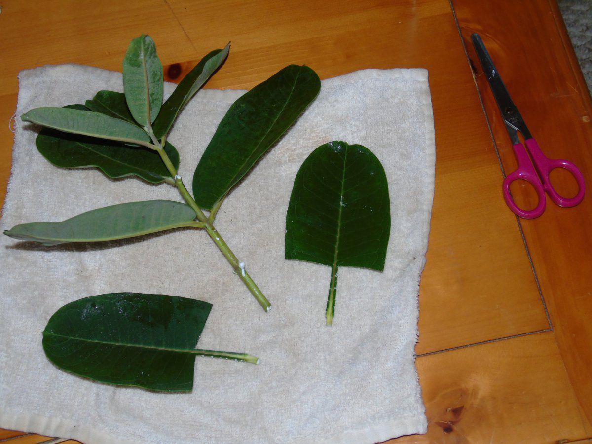 2 trimmed leaves.JPG