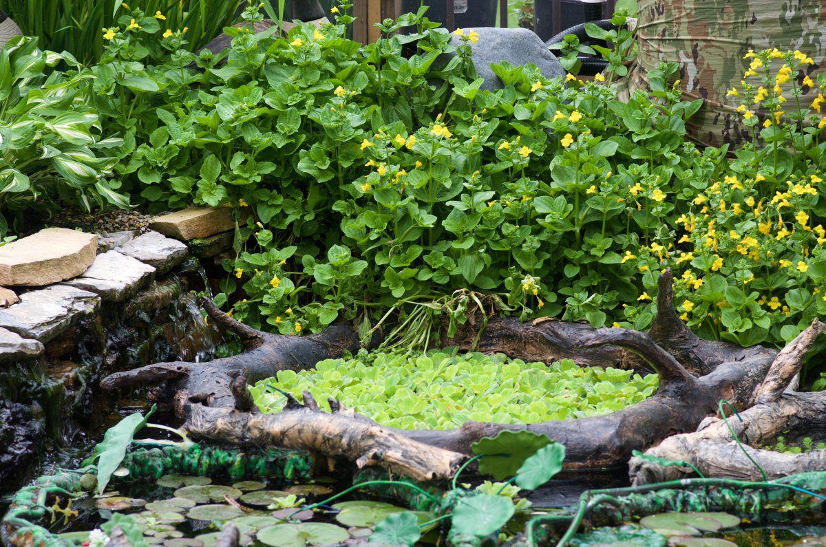 200605 - pond plants, turtles (new=Gemma), frogs 15.jpg