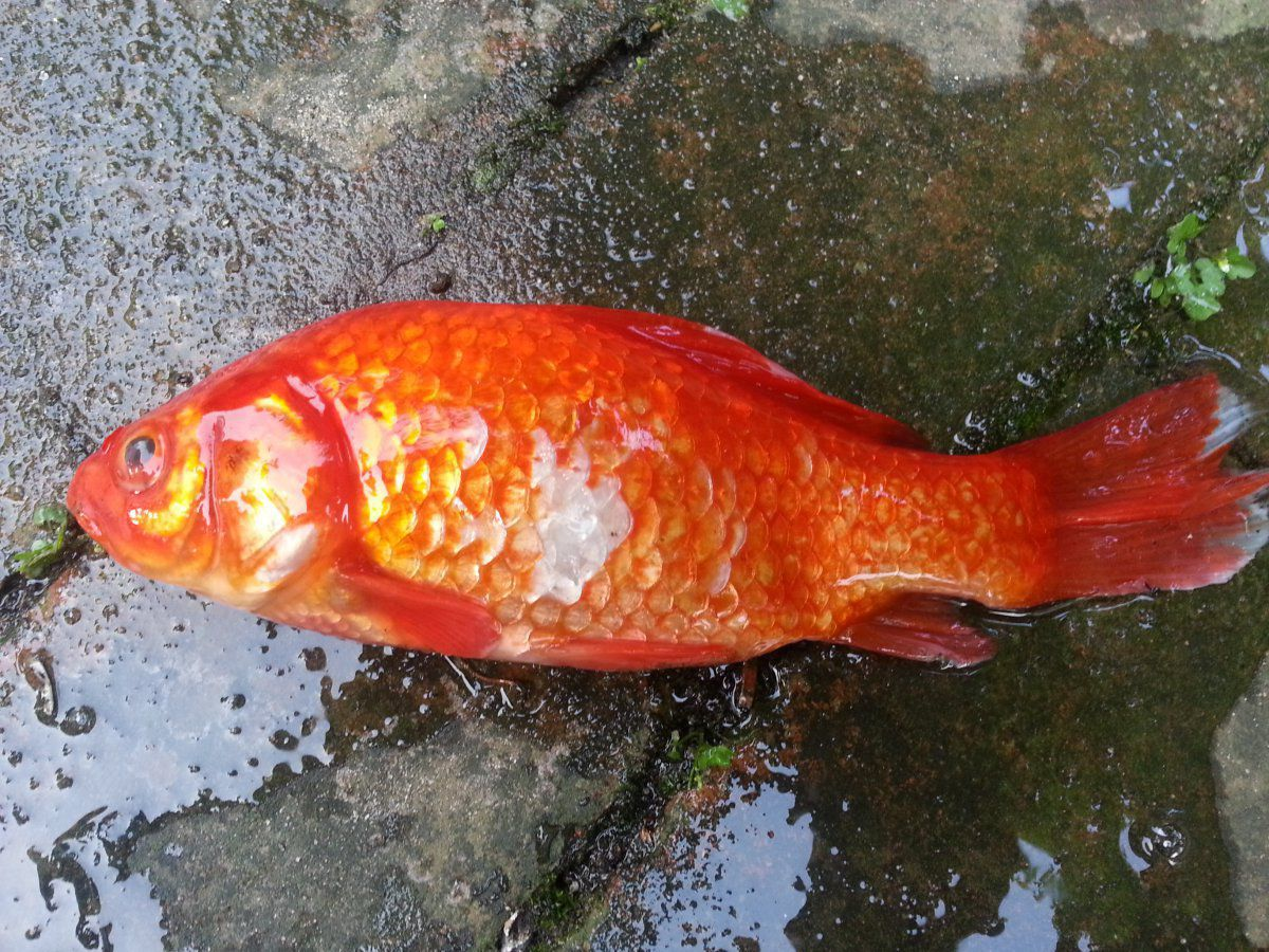 Goldfish dying one had large white patches lying on for White fungus on fish