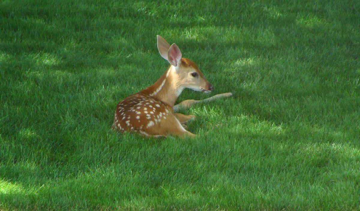 2015 baby deer in devil strip.JPG