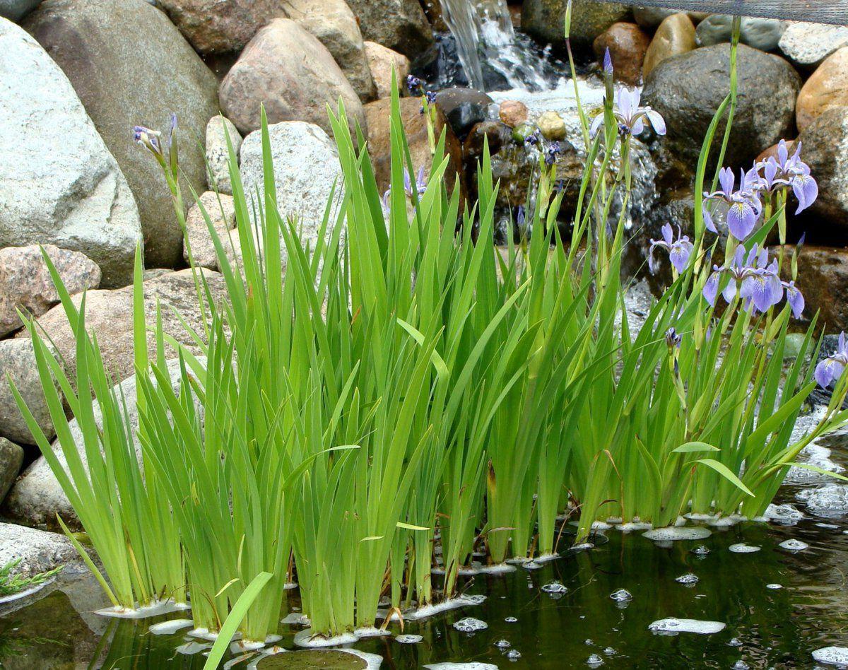 2016-5-27 blue flag iris.JPG