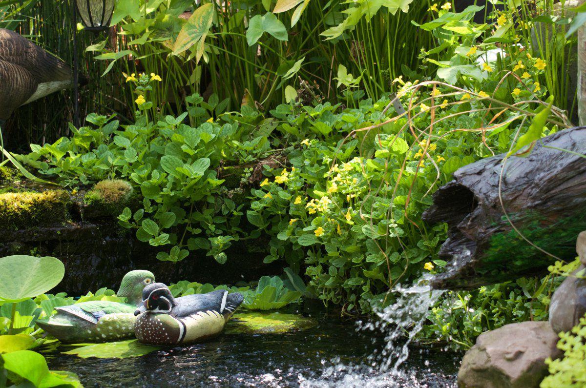 210731 - pond plants, lilies, turtles, fish, wfall 11.jpg
