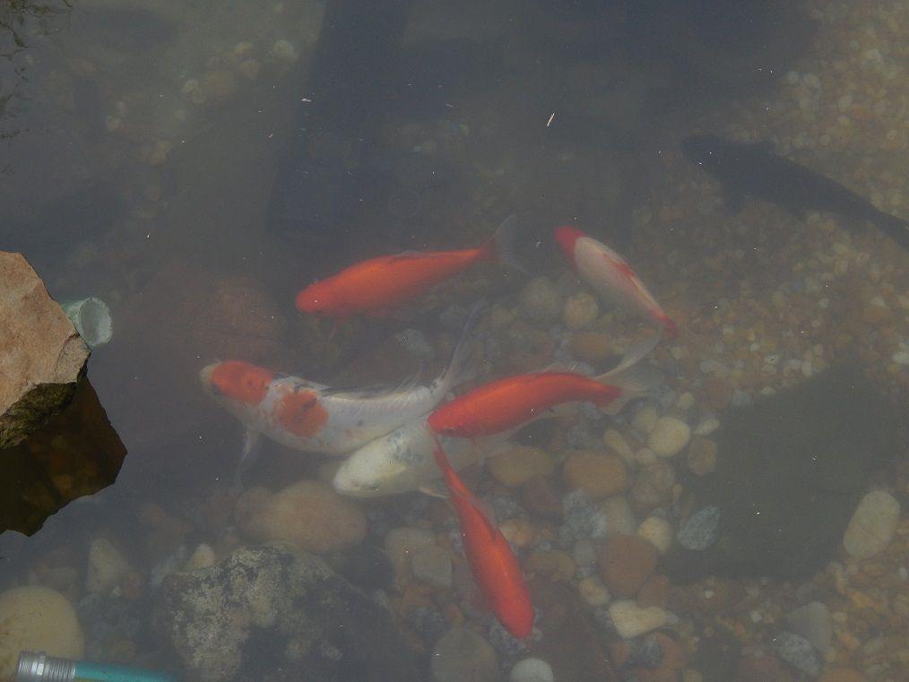 New images pond koi garden pond forums for Pool koi manchester