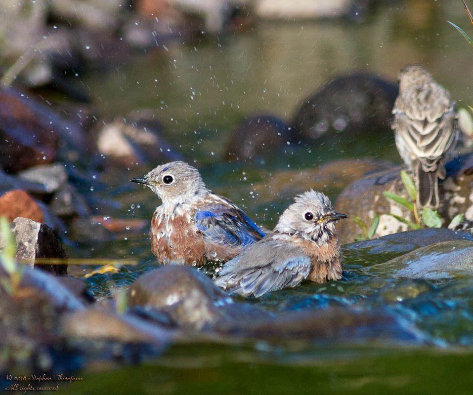 6901 bathing beauties w bluebirds.jpg