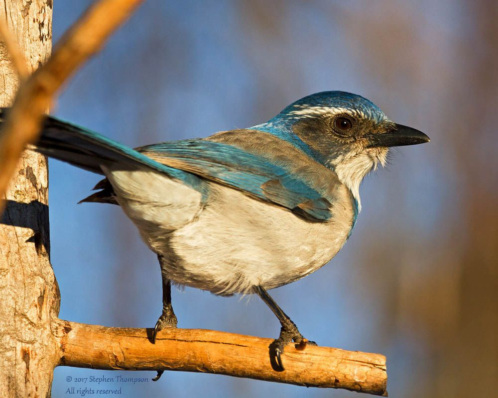 8631 scrub jay in winter sun.jpg