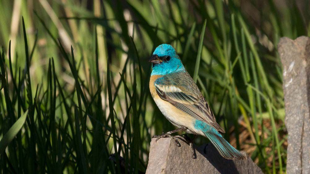 8739 luzuli bunting breeding colors.jpg