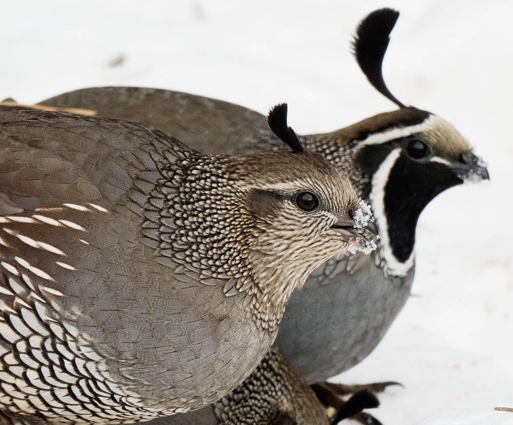 _1030956 quail.jpg