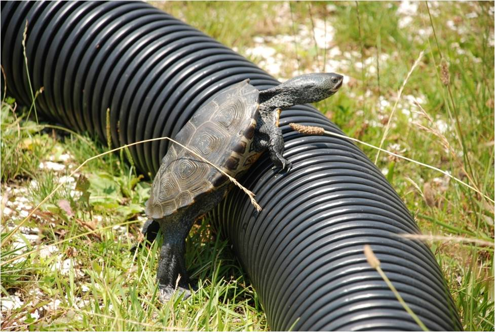 Adult-female-terrapin-attempting-to-scale-corrugated-tube.jpg