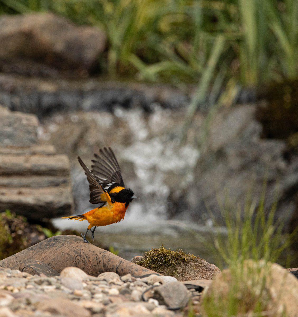 Baltimore Orial pond 2020 (1 of 1).jpg