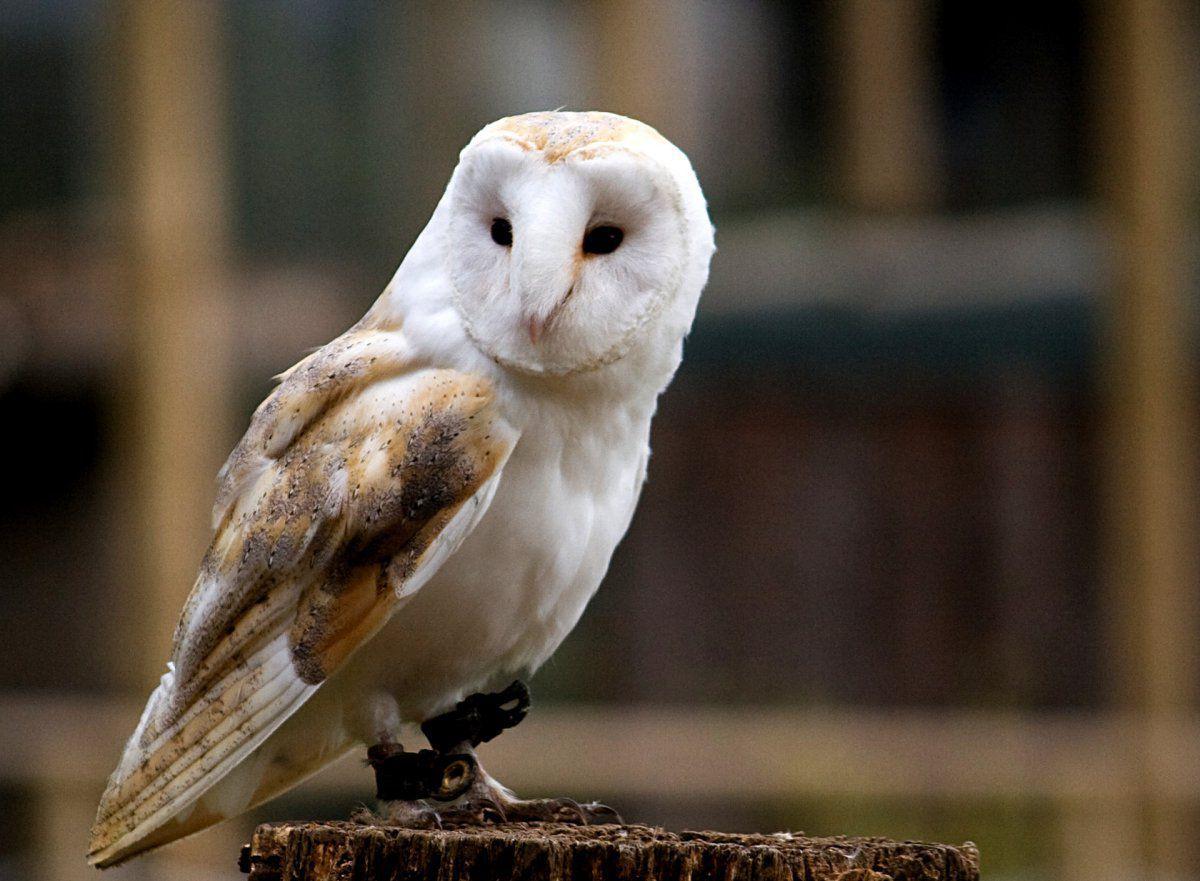 Barn_Owl_02_1680.jpg