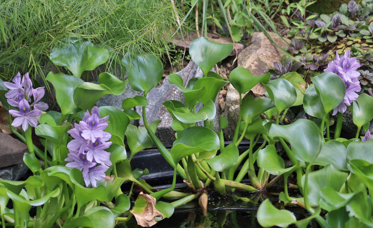 biofall water hyacinth 04.JPG