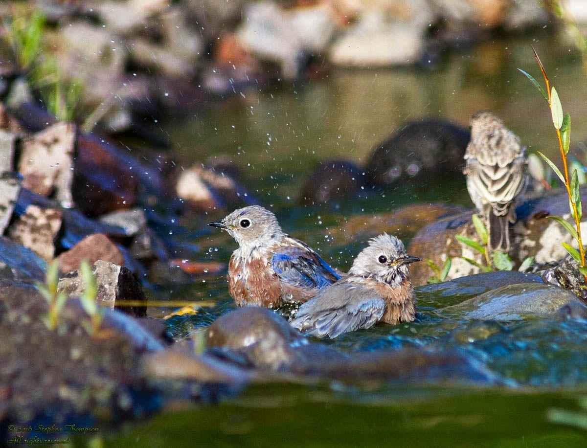 Blue Birds Bathing.jpg