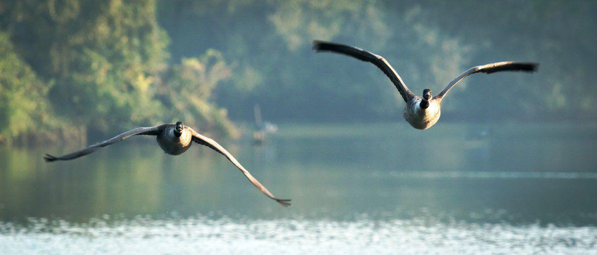 Canada Geese-31.jpg