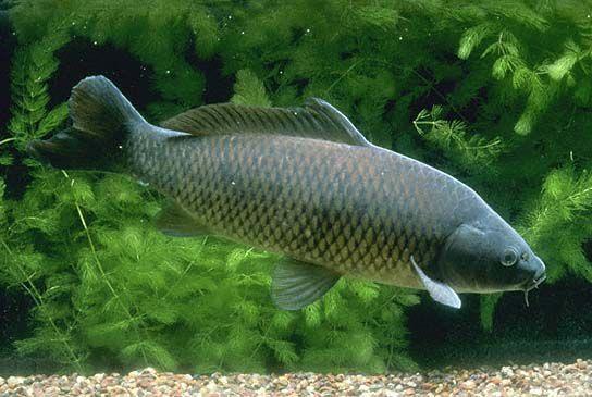 Common carp color.jpg