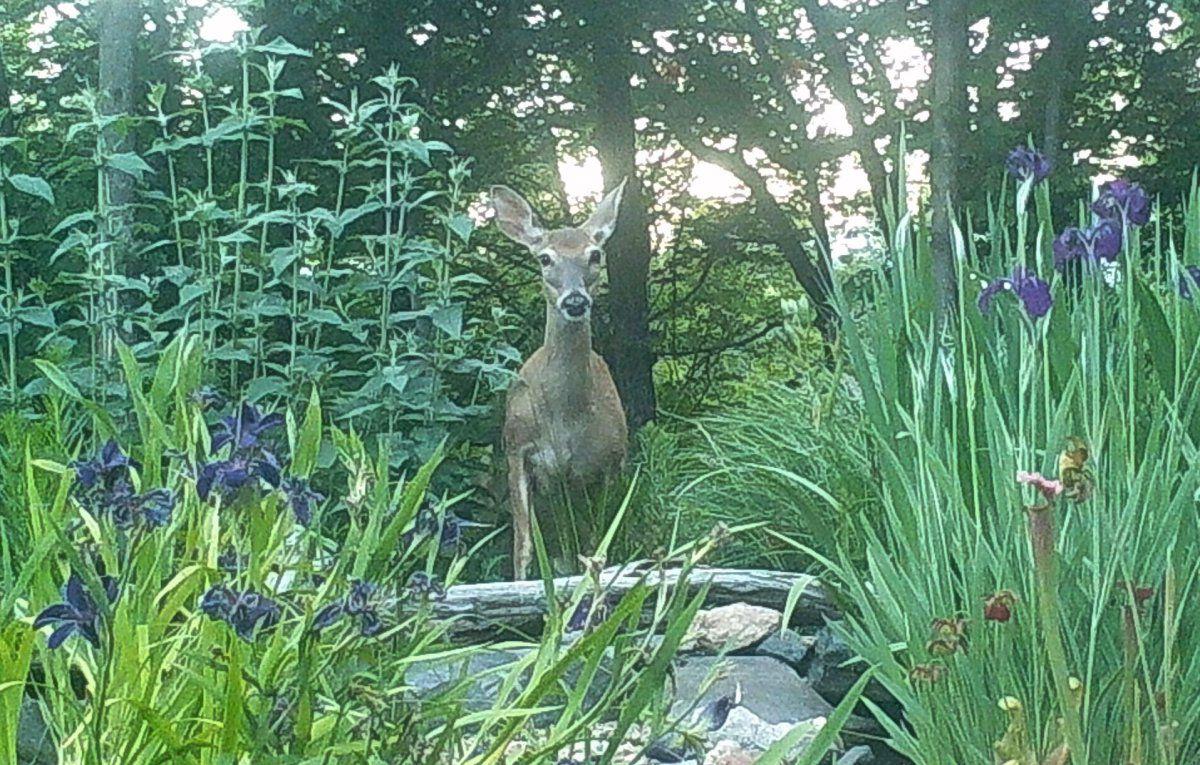 dastardly deer 01.JPG
