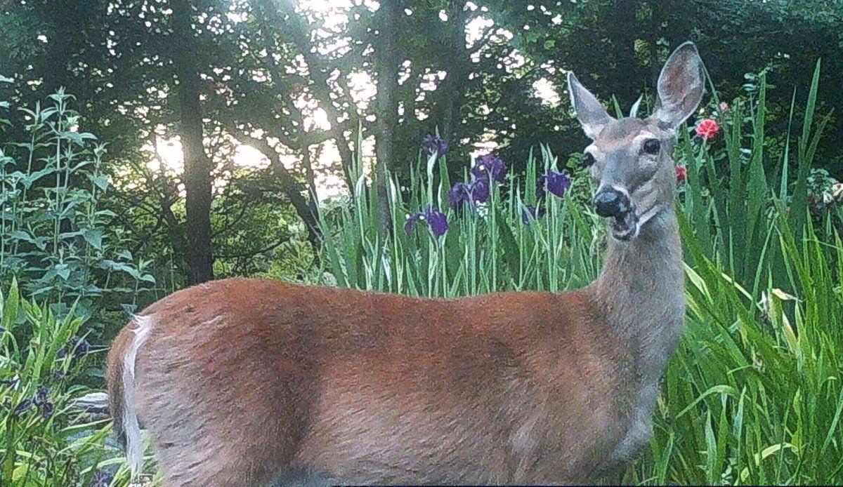 dastardly deer 03.JPG