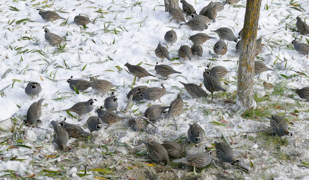 did somebody say quail.jpg