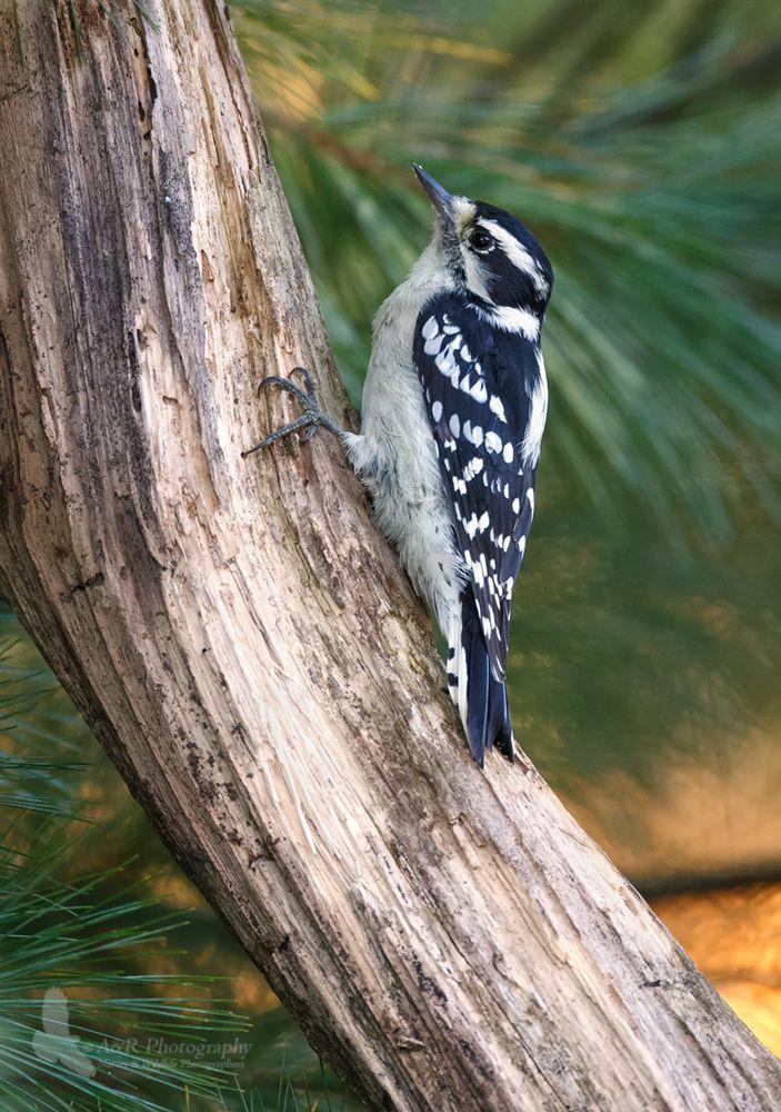 Downy Woodpecker gpf 2.jpg