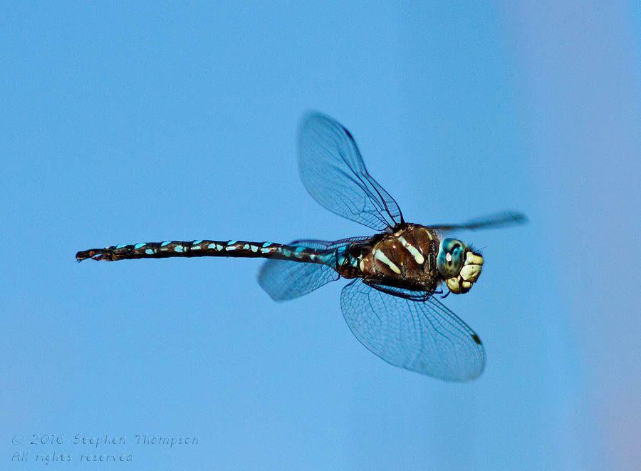 dragonfly in flight.jpg