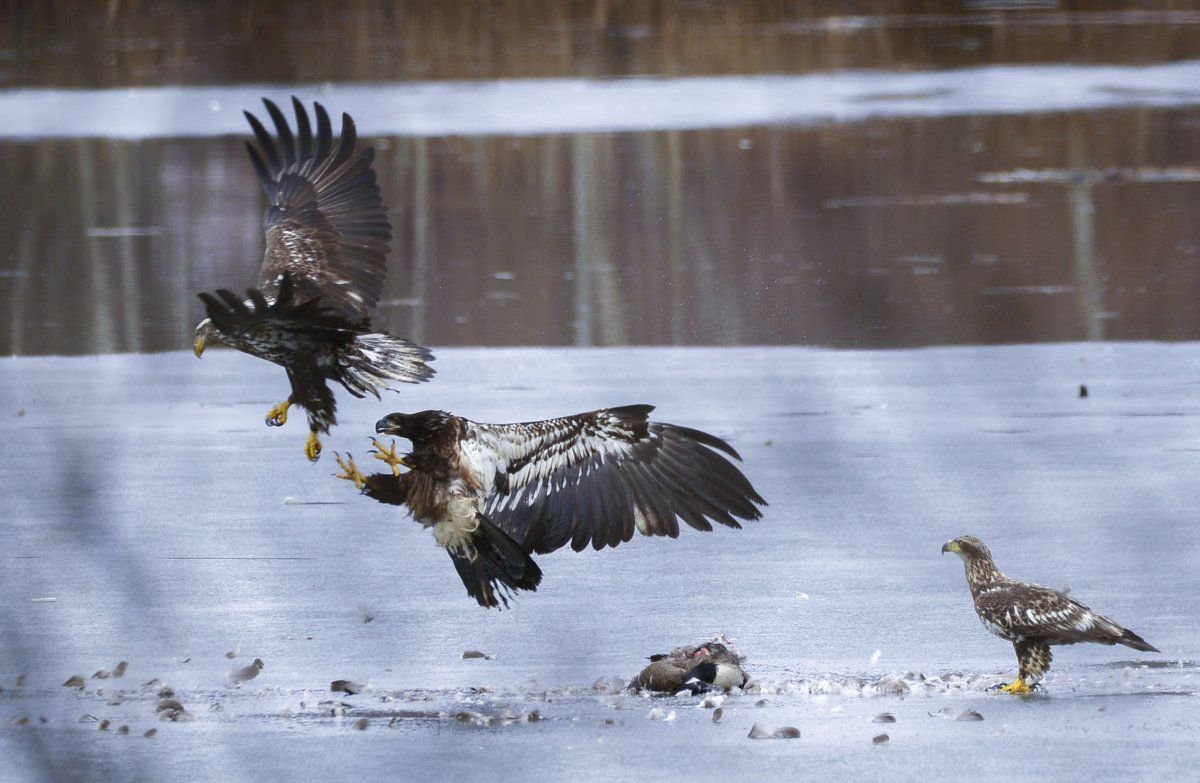 Eagle Ballet (1 of 1).JPG