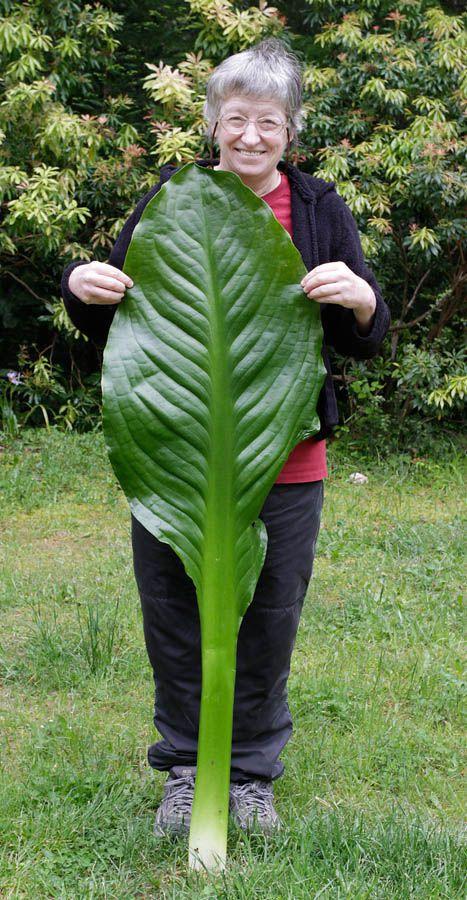 eve and skunk cabbage leaf.jpg