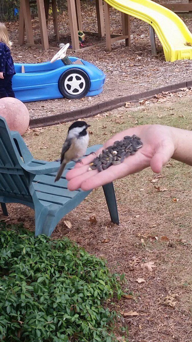 feeding chikadee (2).jpg