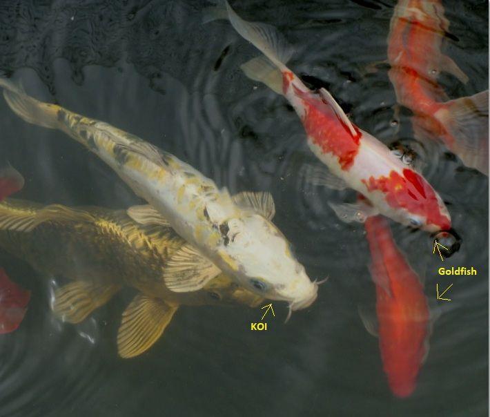 Fish - koi, goldfish.JPG