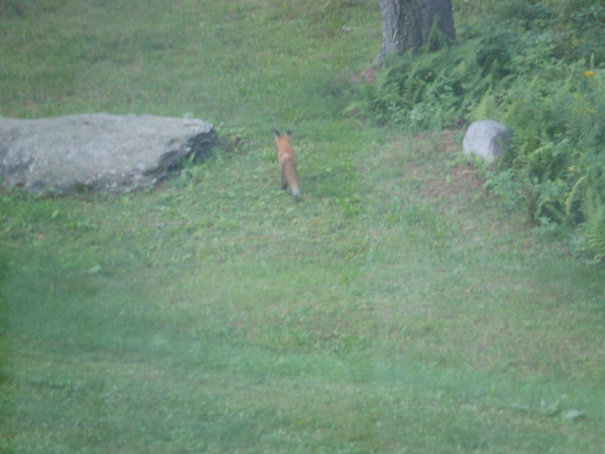 fox 001.JPG