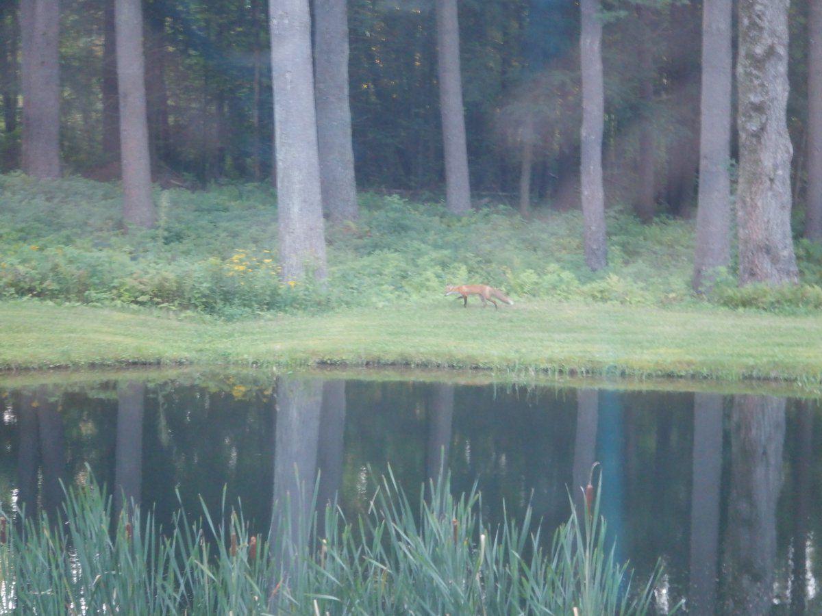 fox 003.JPG