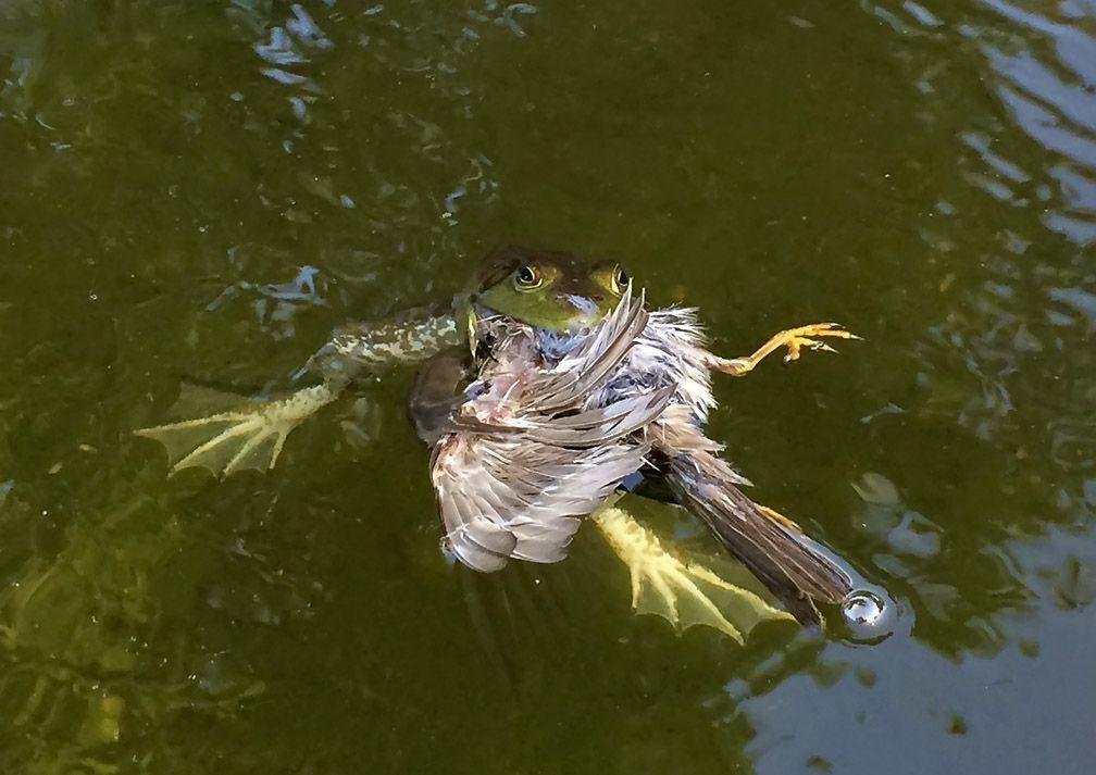 Frog eating bird - photo#11