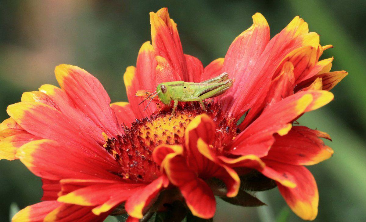 gallardia grasshopper 01.JPG