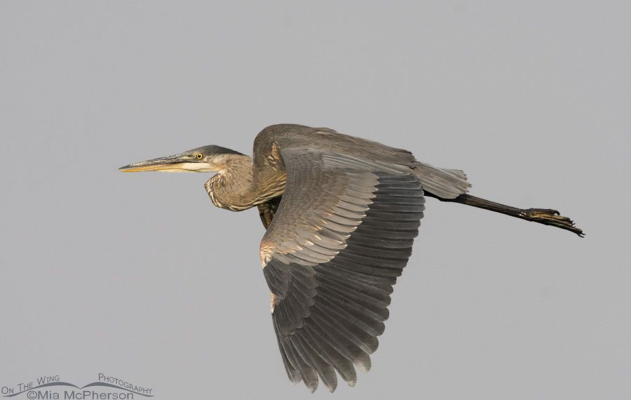 great-blue-heron-flight-mia-mcpherson-0655.jpg