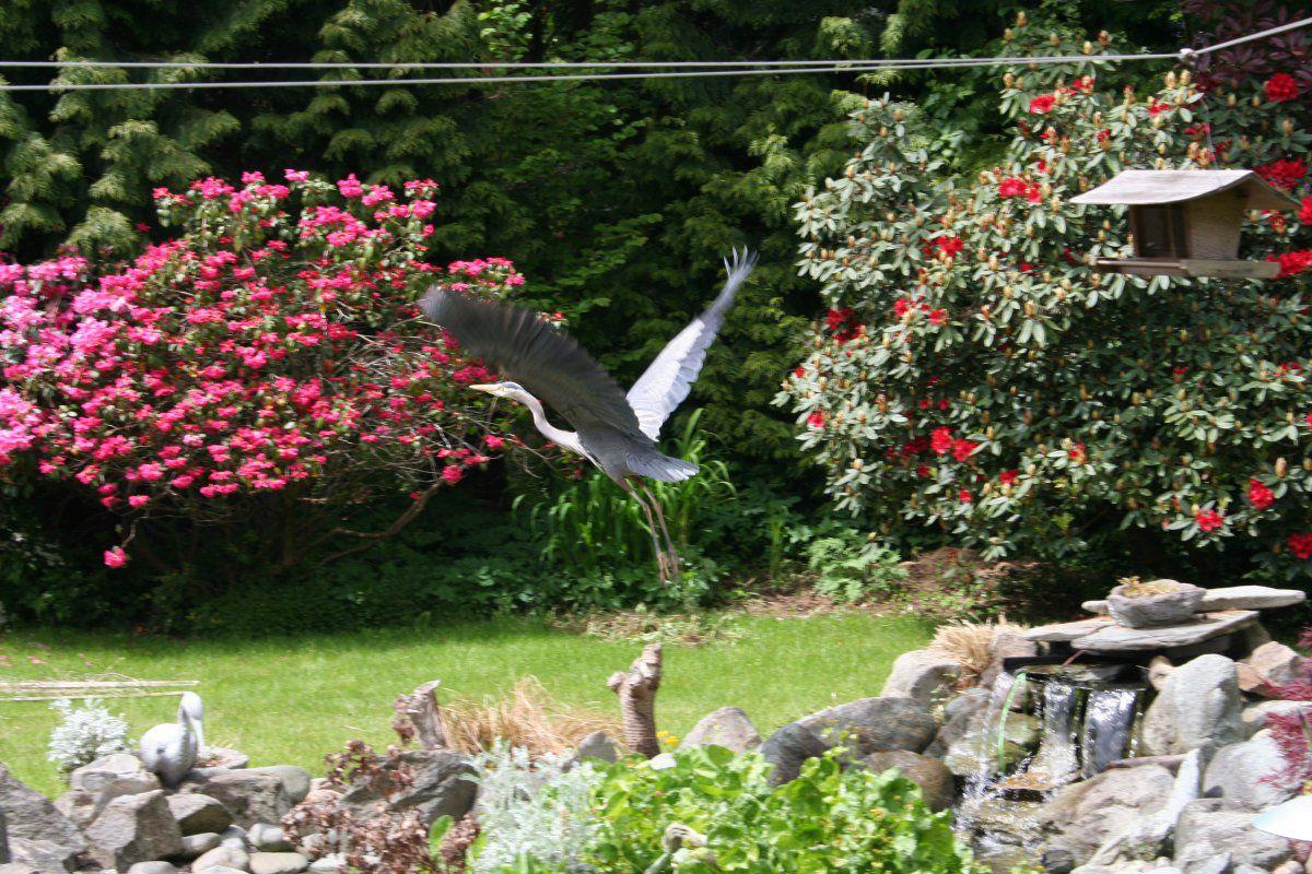 Heron Taking Off.JPG