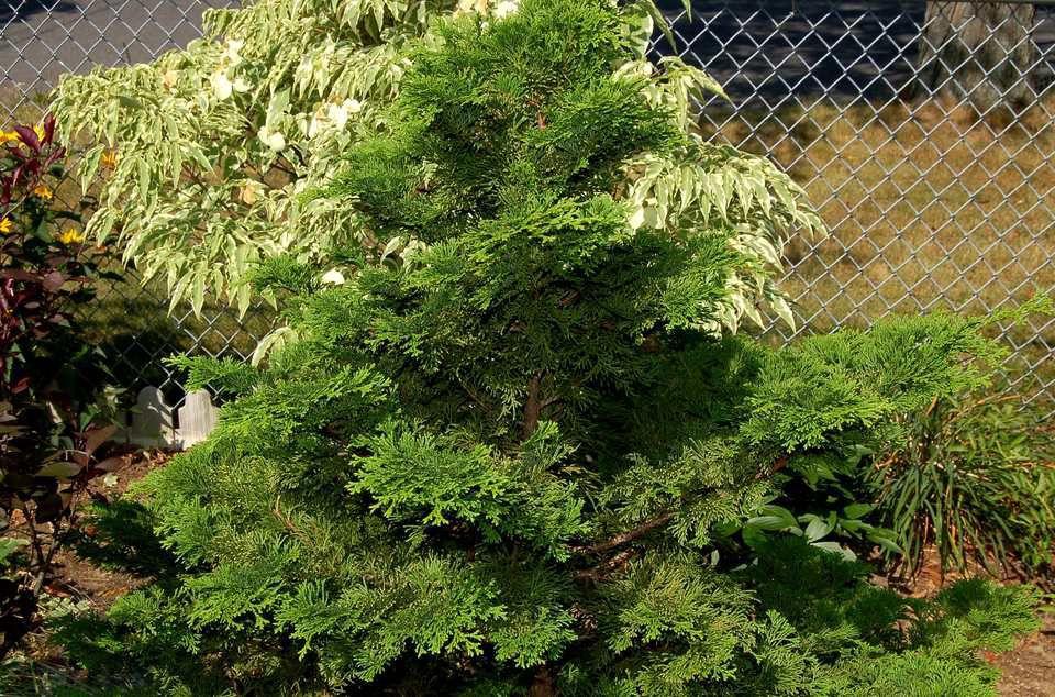Hinoki-cypress.jpg