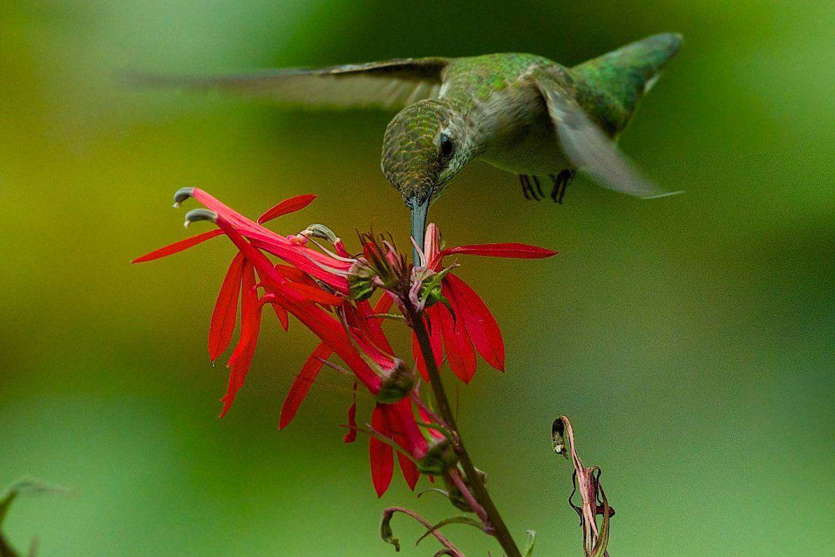Humming bird and cardnal plant.jpg