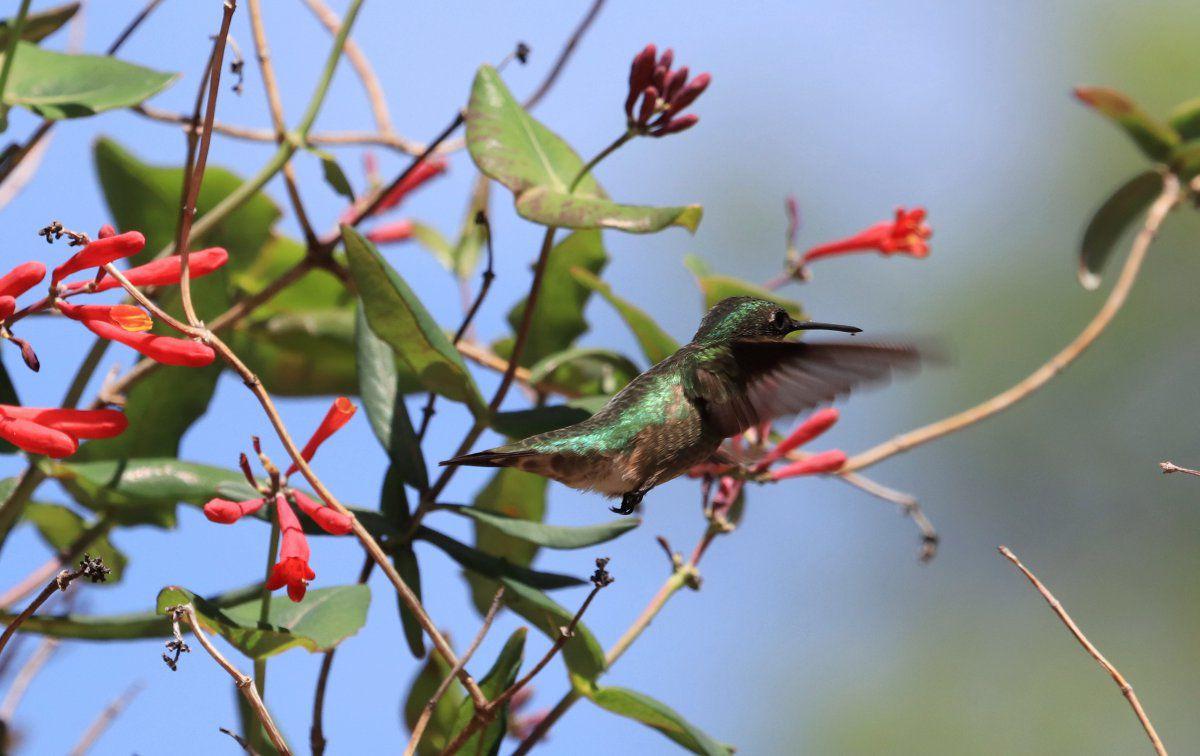 hummingbirds return 01.jpg