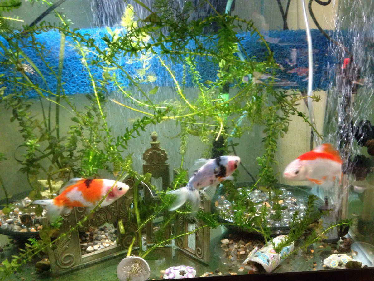 Cant decide goldfish and koi or just koi garden pond for Koi pond forum