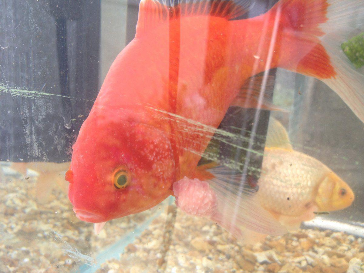 Strange lumps on goldfish garden pond forums for Unusual pond fish