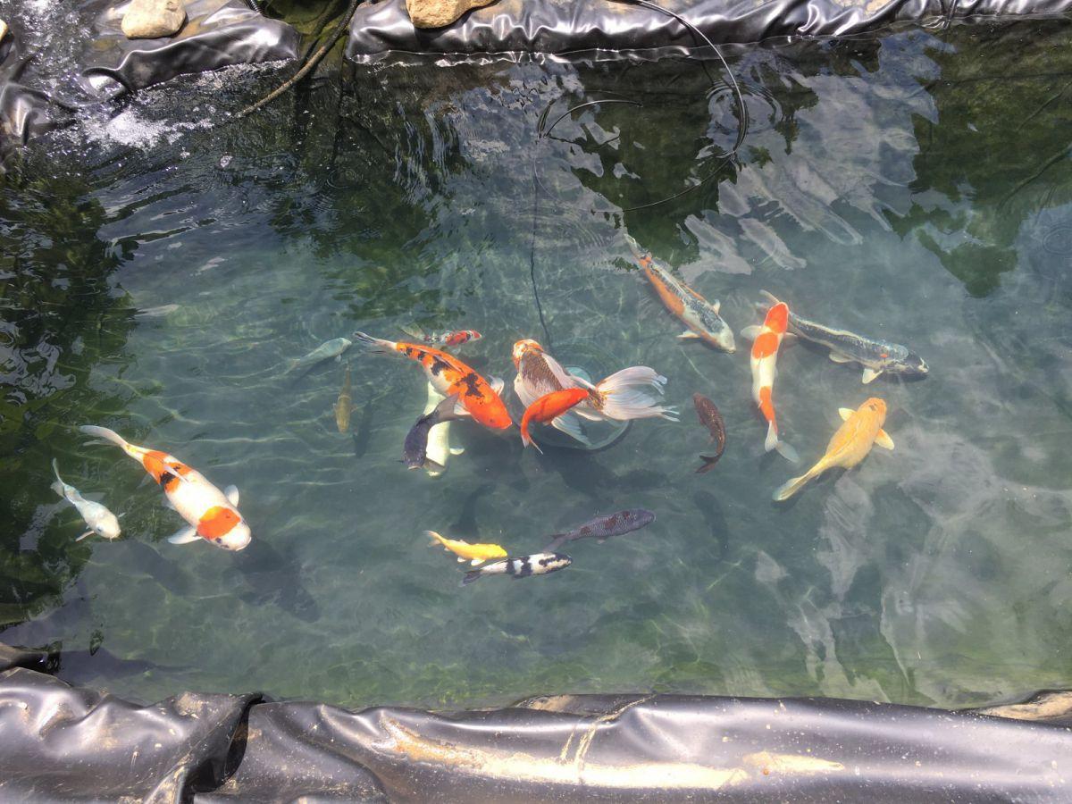 My second pond a Dedicated Koi pond | Garden Pond Forums