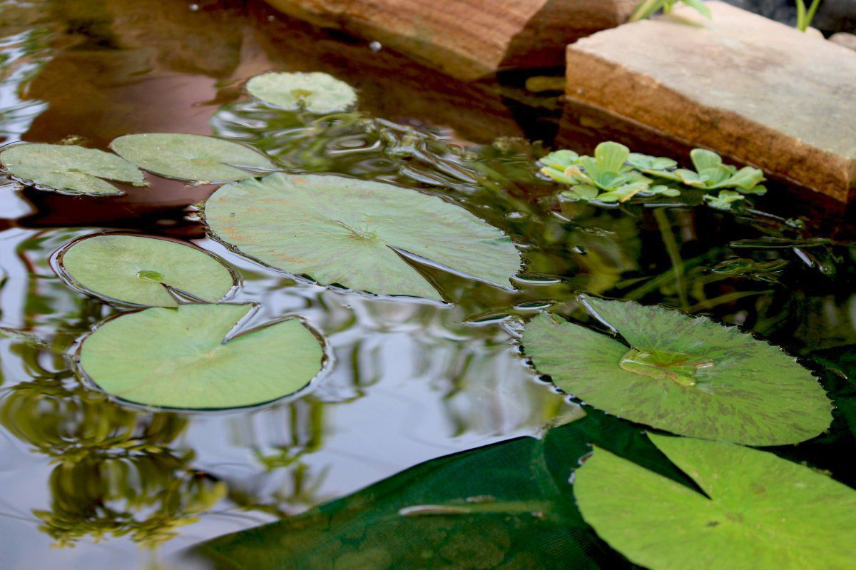 Only lily pads no flower why garden pond forums img1315g izmirmasajfo