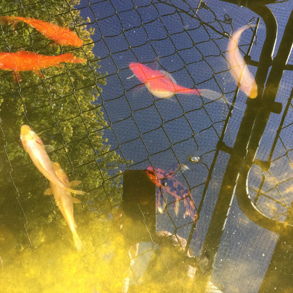 Bloated fish garden pond forums for Koi pond forum