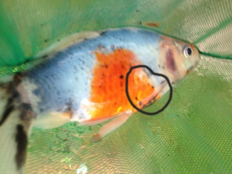 Image gallery shubunkin diseases for Pond fish diseases