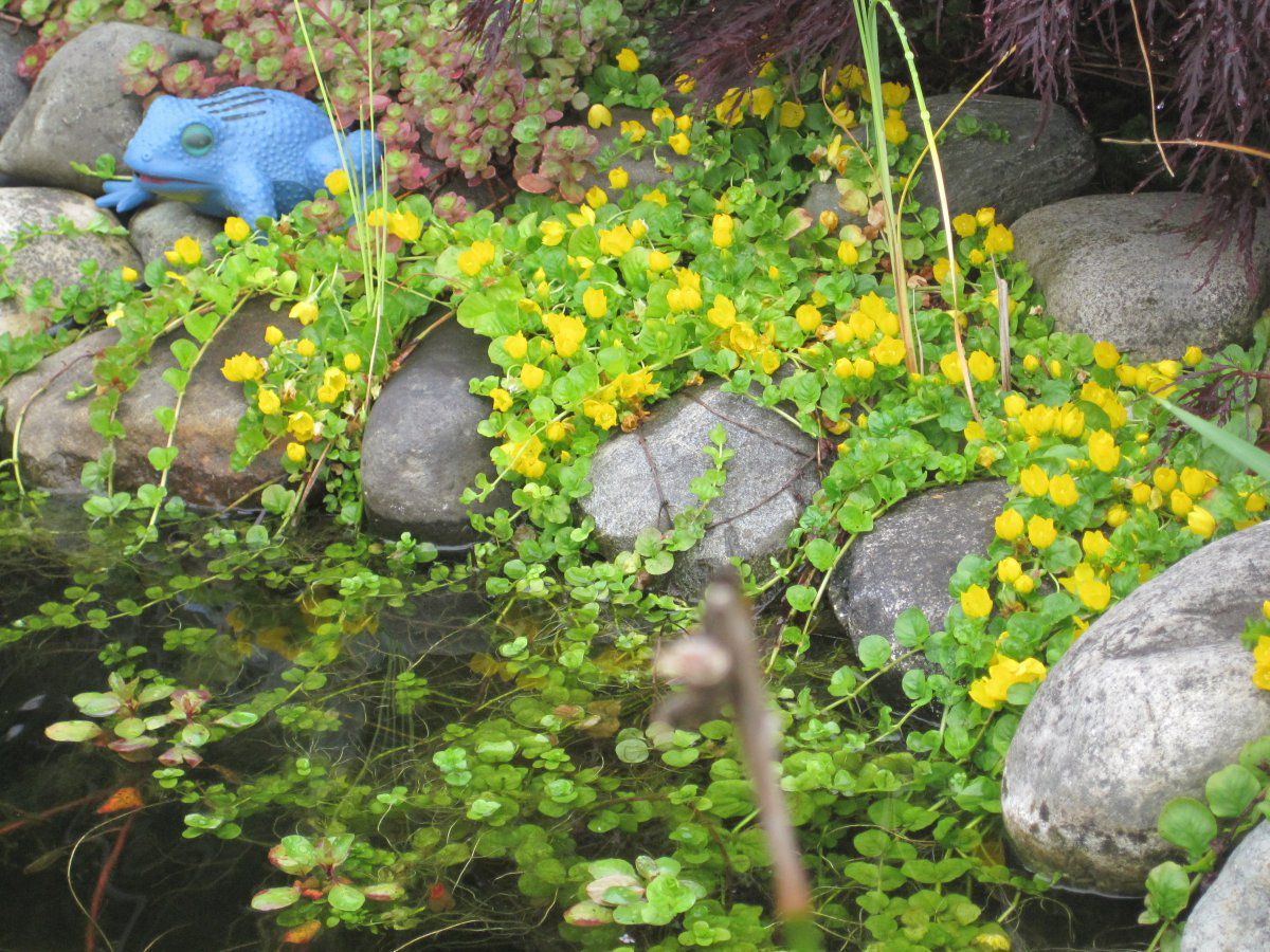 Need advice for creeping water plants to cover liner for Plants near ponds
