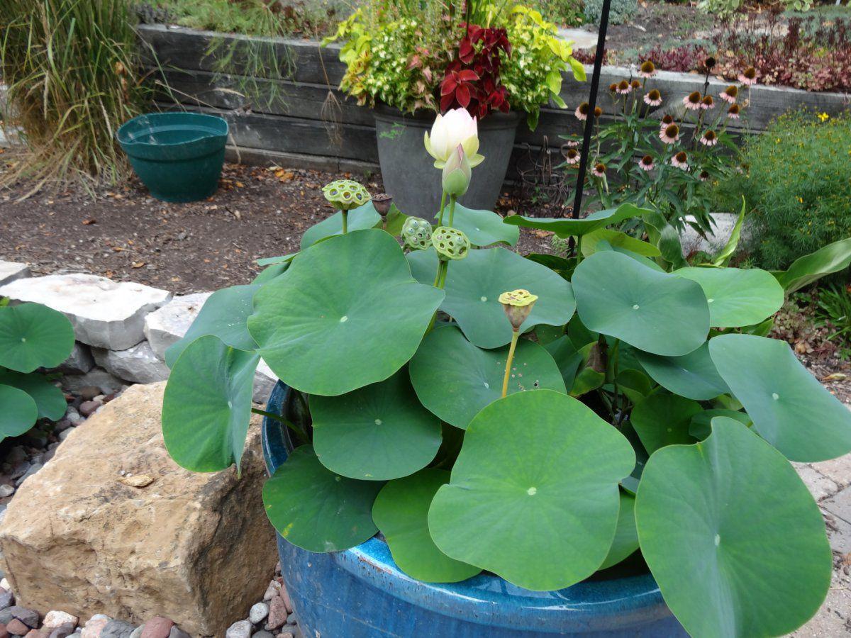 $$ lotus.JPG